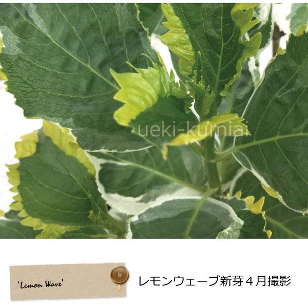 アジサイ レモンウェーブ Lemon Wave