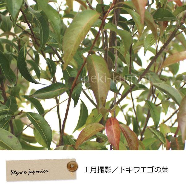常緑エゴノキ エゴ トキワエゴノキ 常盤 シンボルツリー