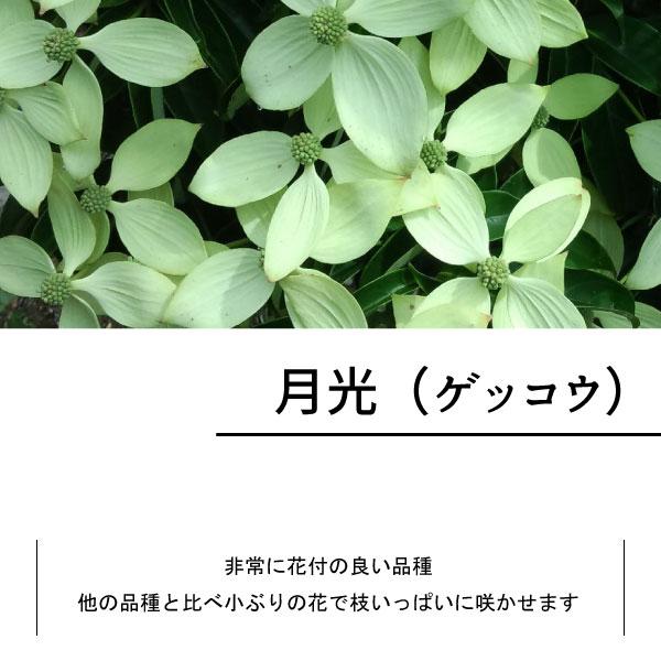 常緑ヤマボウシ ホンコンエンシス 単木 株立ち 花 苗  月光