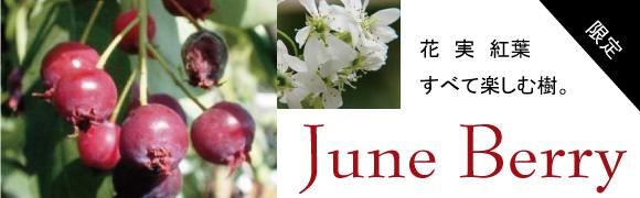 ジューンベリー 人気のシンボルツリー
