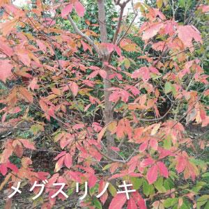 人気のシンボルツリー メグスリノキ