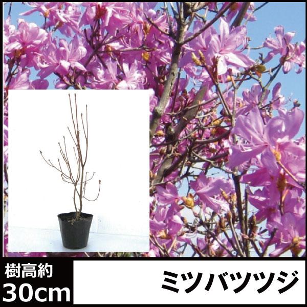 ミツバツツジ コバノミツバ 三つ葉つつじ 苗