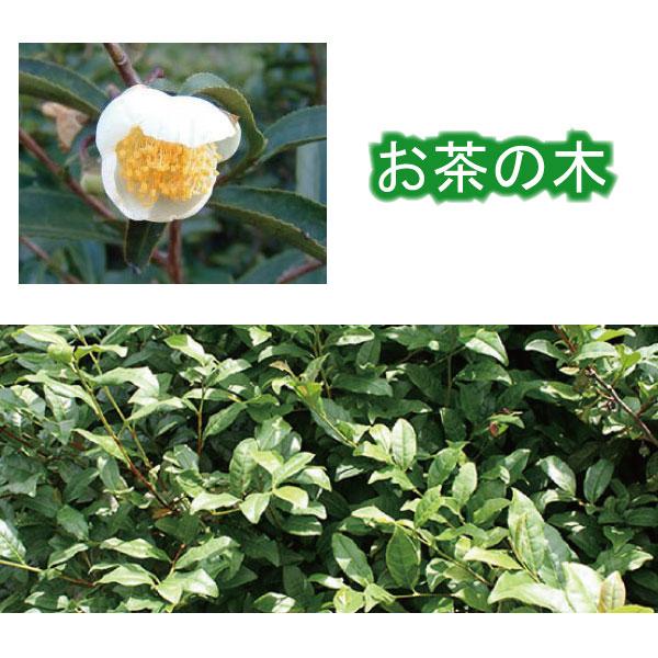 オチャノキ お茶の木