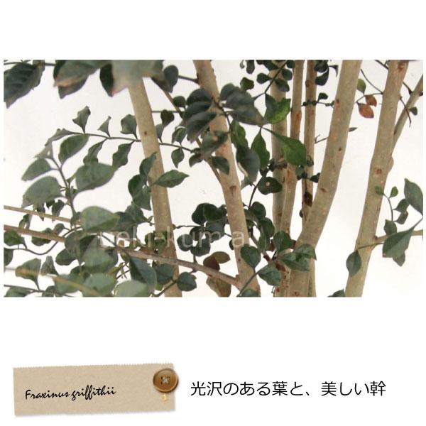 シマトネリコ 株立ち 冬 葉