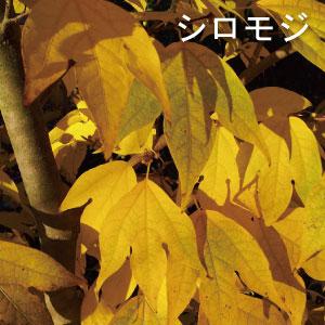 人気のシンボルツリー シロモジ