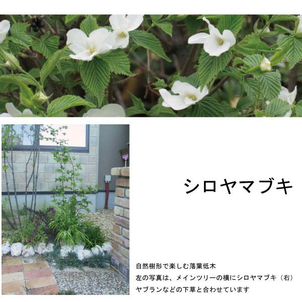 シロヤマブキの画像 p1_27